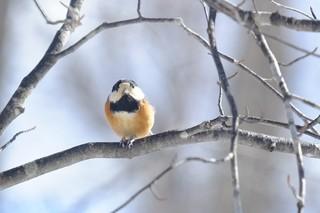 鳥 やまがら5.jpg